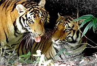 tigri_b1