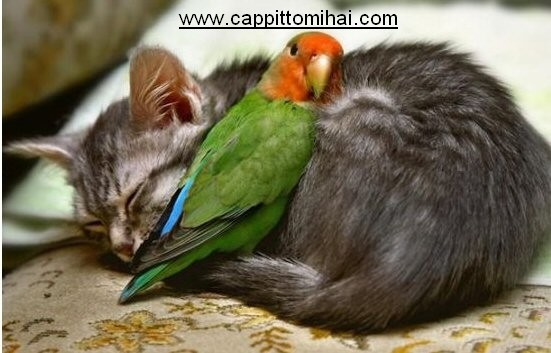 uccello-gattina