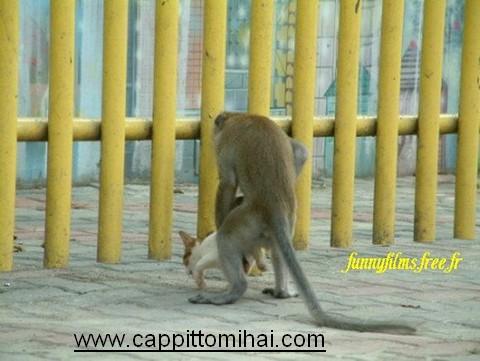 scimmia maiale